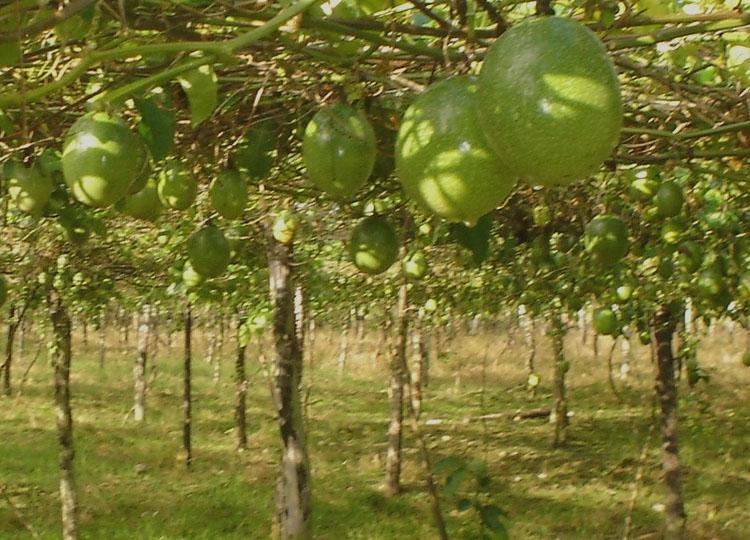 Vivero rbol de maracuy for Viveros frutales bogota